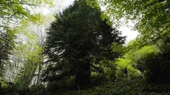 Visit the 4116-year-old Memorial Badger Tree